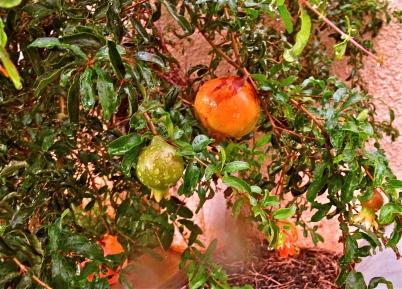 """'Pomegranate anyone?"""""""